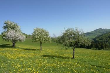 Apfelbäume im Frühling