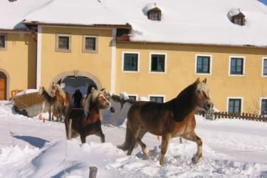 Haflinger zur Winterkoppel