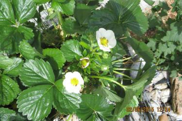 Monats Erdbeere