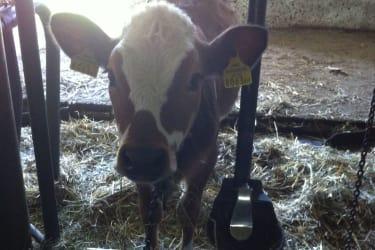 Das junge Kalb wartet darauf gefüttert zu werden
