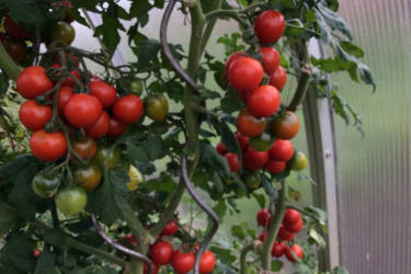 Tomaten im Glashaus