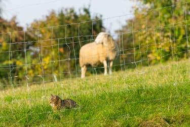 Katze und Schaf
