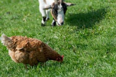 Ziege mit Huhn