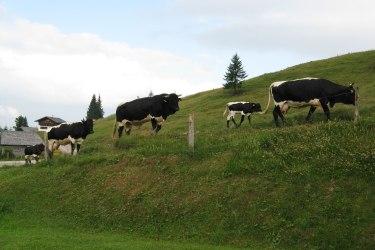 Unsere Kühe samt unserem ganz braven Stier