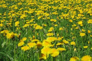blühende Frühlingswiese