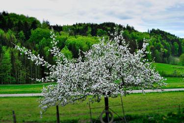 Unser blühender Apfelbaum