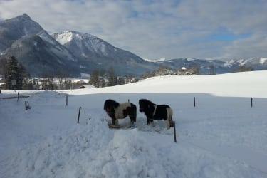 Unsere 2 Miniponys Laura und Ferdi, Streichelponys – keine Reitponys