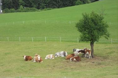 Vieh auf der Weide beim Bauernhaus
