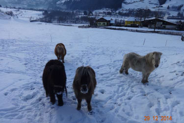 Ponys im Winter