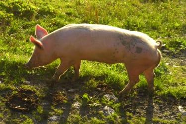 Almschwein