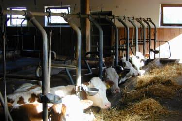 Die Kühe beim Mittagsschlaf