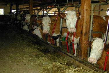 Beim Füttern sind die Kühe aufmerksam
