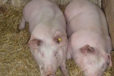 Die Schweindln