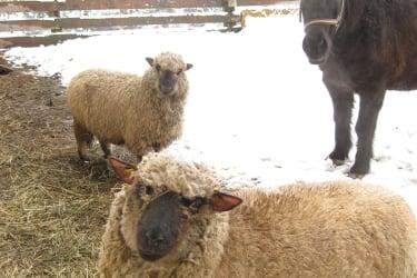 Schafe und Blacky, unser Isländerwallach