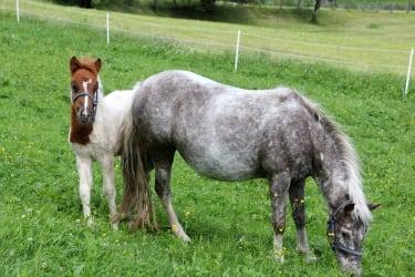 Tiernachwuchs Pony