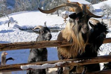 Ziegen - Winterstreichelzoo am Erlebnisbauernhof Proneben Gut