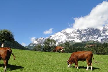 Reith-Gut Rinder auf der Weide