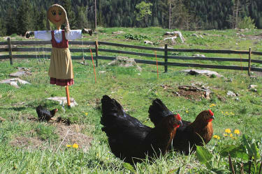 glueckliche Hühner