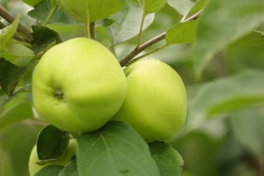 Saftige Äpfel