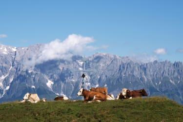 die Kühe genießen den Urlaub auf der Alm - im Hintergrund der Hochkönig