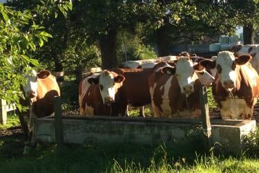 Unsere  Kühe genießen die Weide