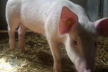 Schwein Hansi