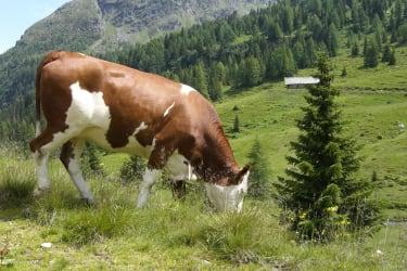 Kühe - Alm