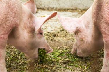 Schweine beim Fressen