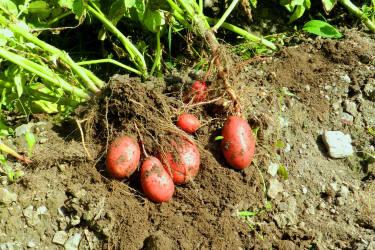 Unsere Bio - Kartoffeln