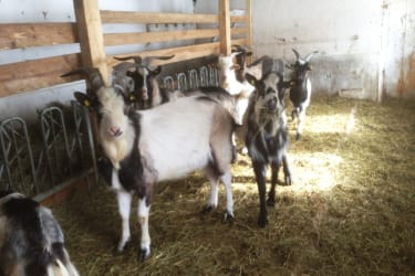im Winter sind die Ziegen im Laufstall mit angrenzenden Auslauf