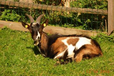 junger Ziegenbock in der Mittagssonne!