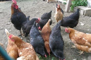 Der Hühnerhof mit Hahn