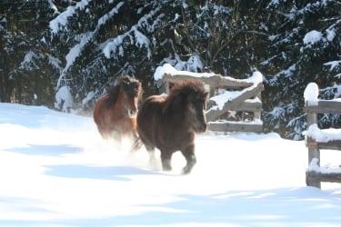 Ponies im Winter