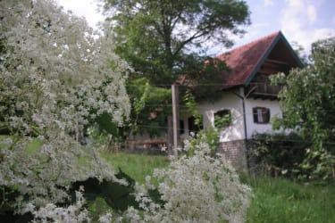 Juni Holunderblüte