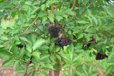 Hollerbuschen