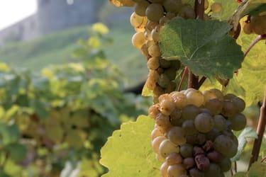 Weintauben