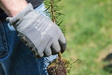 Christbaumpflanze