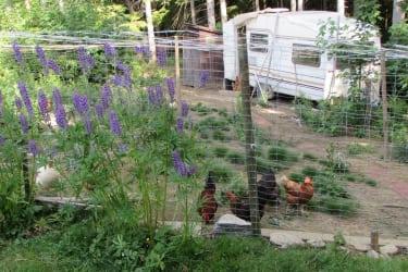 unsere Hühner