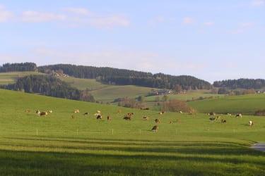 Kühe und Kälber auf der Weide