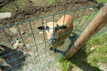 Unser Schaf Lilli