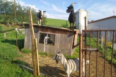 Unsere Ziegen freuen sich über jeden Besuch