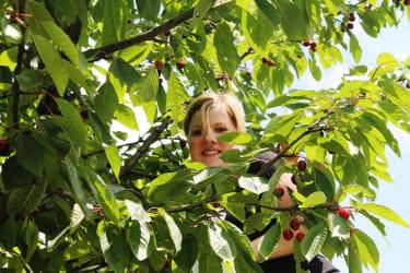 Anja beim Kirschen pfücken