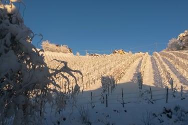 Weingarten bei Sonne im Winter