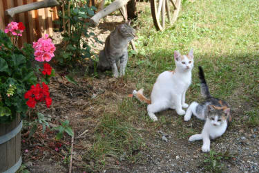Rund um den Hof tummeln sich unsere Katzen - Kollerhof, Leutschach