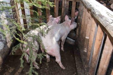 Schweineauslauf, Klausnerhof