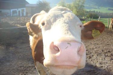 Menthof_glückliche Kuh