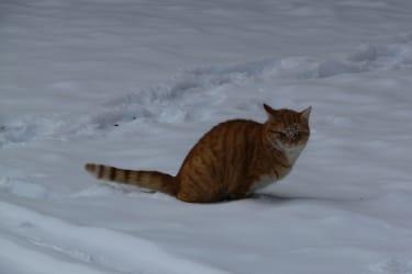 Hauskatze Garfield