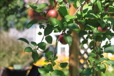 Köstliches Obst von unseren Bäumen