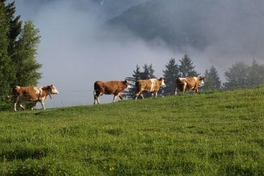 Kühe auf dem Weg zur