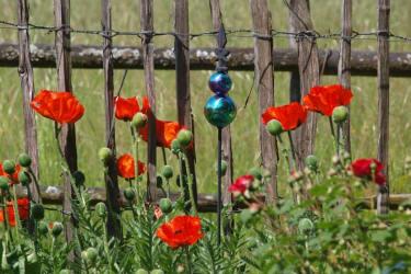 Strahlender Mohn im Kräutergarten